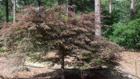 An older Tamuke Yama Japanese Maple currently growing in the fields of Quail Hollow Gardens.